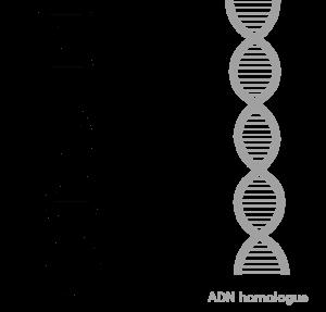 ADN Optimisation Flux